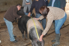 Measuring the weight of your pig