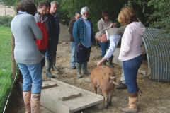 Meeting the woodland pigs