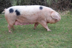 A rather large old spot sow