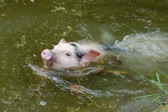 Swimming Piglet