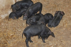 Large Blacks