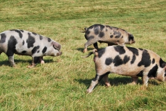 New breeding trio of Oxford Sandy's