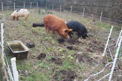 Rotovating the veg patch